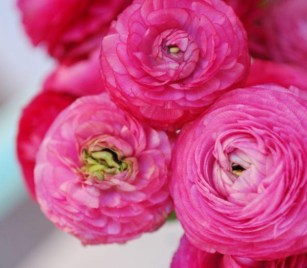 Flores frescas siempre en casa ranúnculos